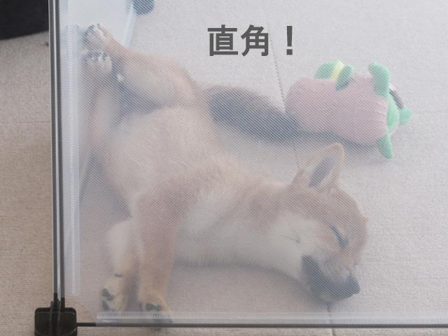 柴犬 柴犬コマリ 寝姿