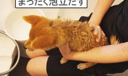 柴犬コマリ 初めてのシャンプー