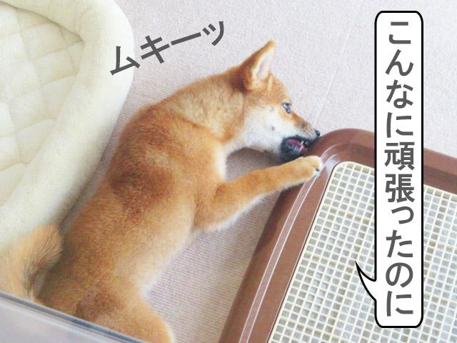 柴犬コマリ 初シャンプー