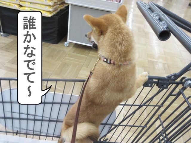 柴犬 柴犬コマリ カインズ