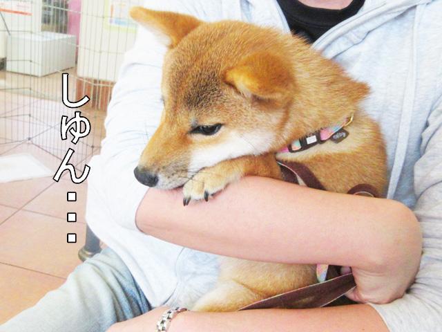 柴犬コマリ パピー教室