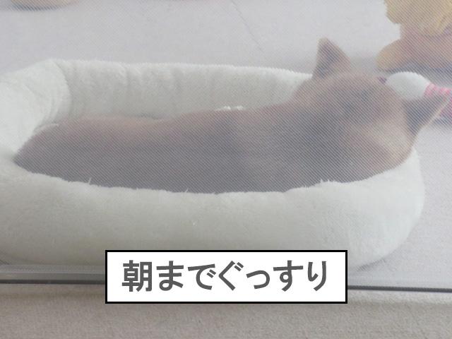 柴犬 柴犬コマリ 台風