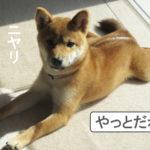 柴犬 柴犬コマリ 散歩デビュー