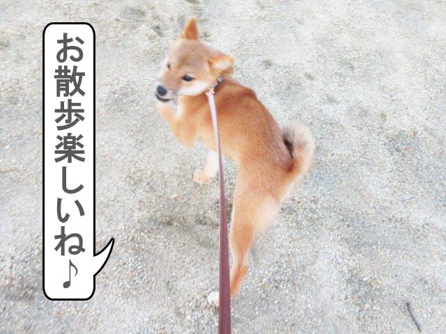 柴犬コマリ 散歩デビュー