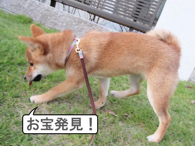 柴犬 柴犬コマリ 拾い食い