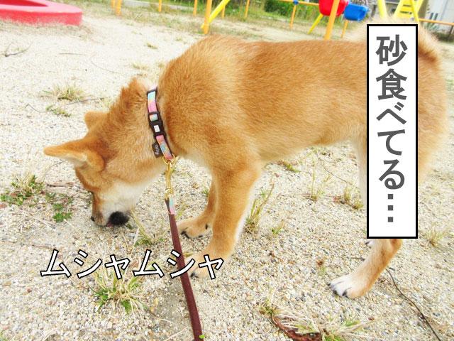 柴犬コマリ 拾い食い