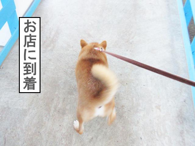 柴犬コマリ 子犬のしつけ