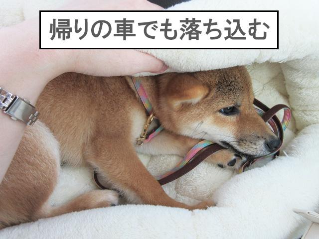 柴犬 柴犬コマリ 車酔い