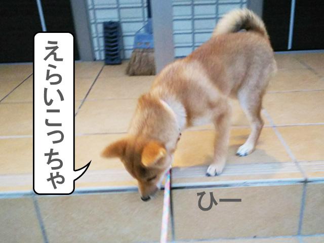 柴犬 柴犬コマリ 階段