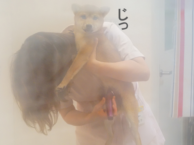 柴犬 柴犬コマリ シャンプー