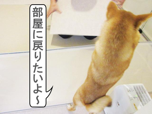 柴犬コマリ 犬部屋