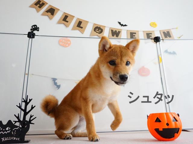 柴犬 柴犬コマリ ハロウィン