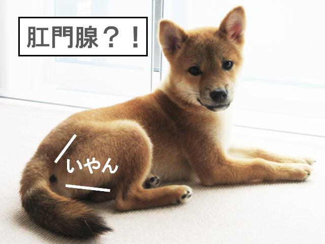 柴犬 柴犬コマリ 肛門腺