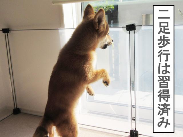 柴犬 柴犬コマリ 二足歩行