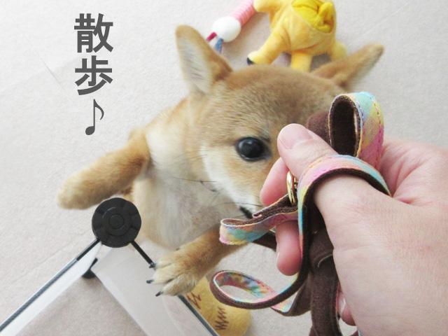 柴犬 柴犬コマリ 散歩