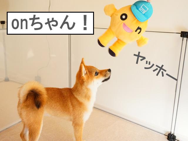 柴犬 柴犬コマリ onちゃん