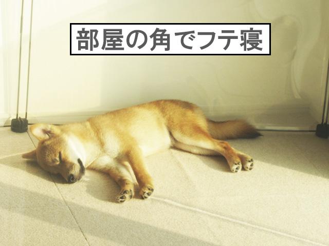 柴犬コマリ パピースクール