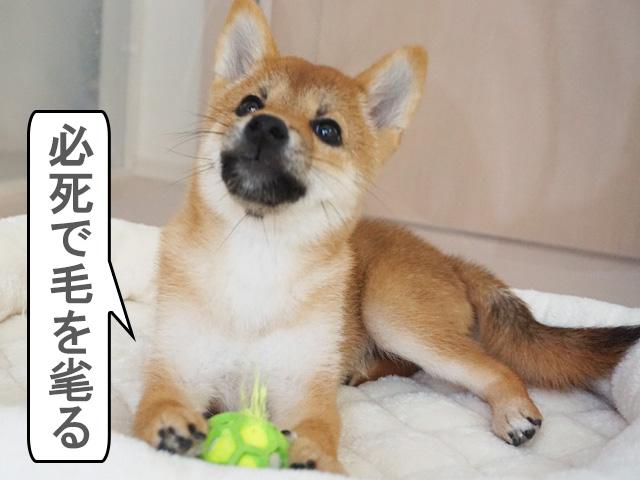 柴犬 ベイビーホーリーテニス jw