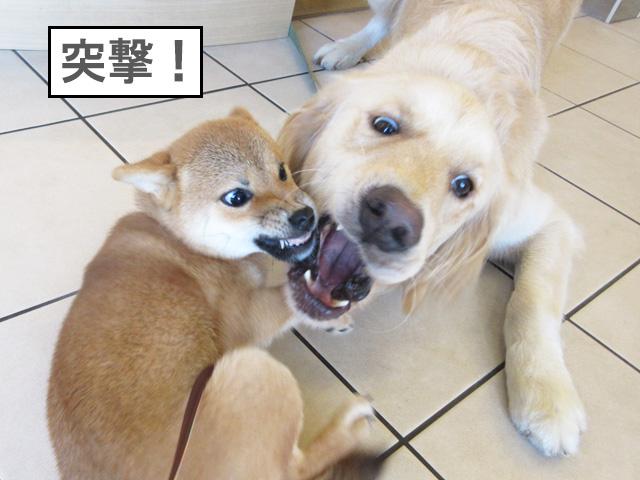 柴犬 柴犬コマリ 社会化