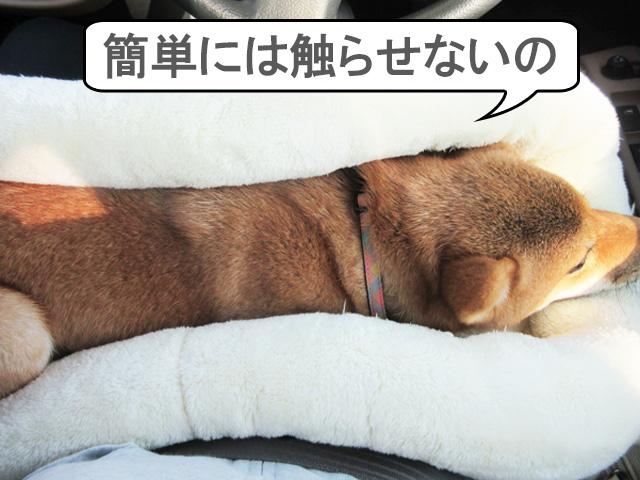 柴犬 柴犬コマリ タッチトレーニング