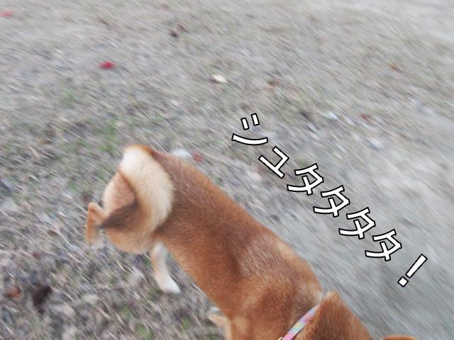 柴犬 柴犬コマリ リーダーウォーク