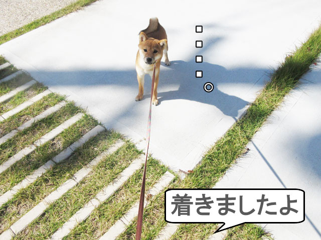 柴犬 柴犬コマリ イヤイヤさん