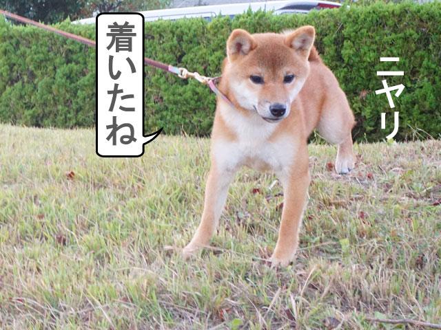柴犬 柴犬コマリ 公園