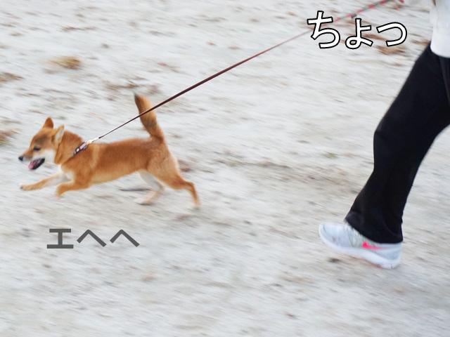 柴犬 柴犬コマリ キムタク