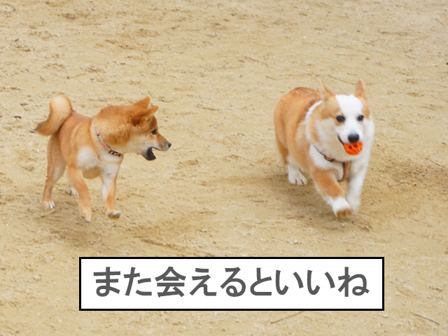 柴犬 柴犬コマリ ドッグラン