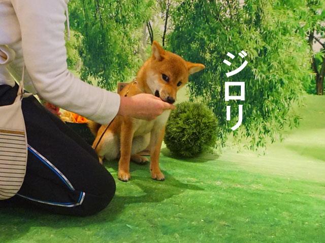 柴犬 柴犬コマリ モデル犬