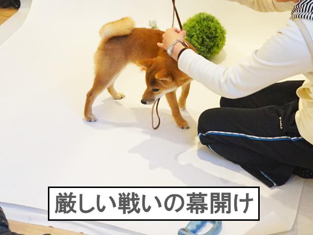 柴犬 柴犬コマリ 撮影会
