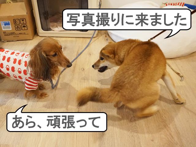 柴犬 柴犬コマリ 写真撮影会