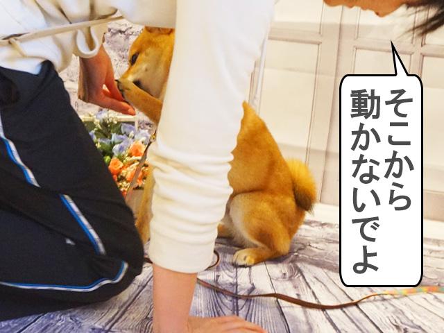 柴犬 柴犬コマリ 写真