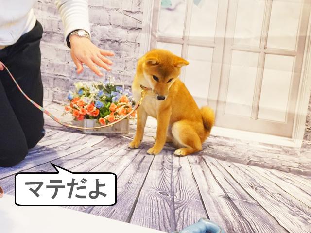 柴犬 柴犬コマリ マテ