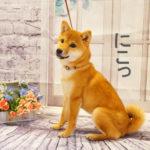 柴犬 柴犬コマリ アイドル犬