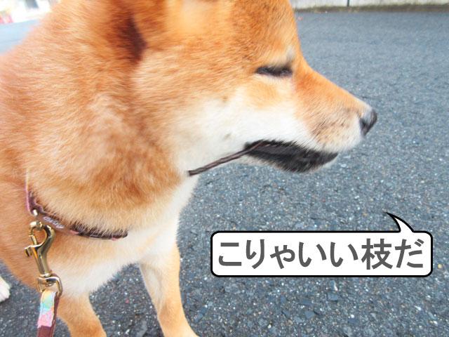 柴犬 柴犬コマリ 枝