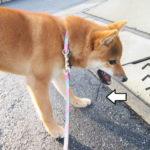 柴犬 柴犬コマリ 木の棒