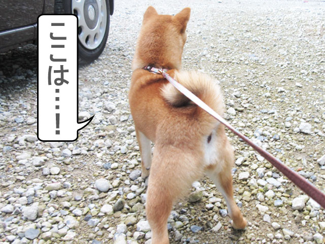 柴犬 柴犬コマリ しつけ教室