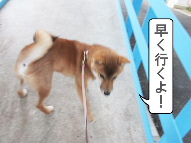 柴犬 柴犬コマリ トレーニング