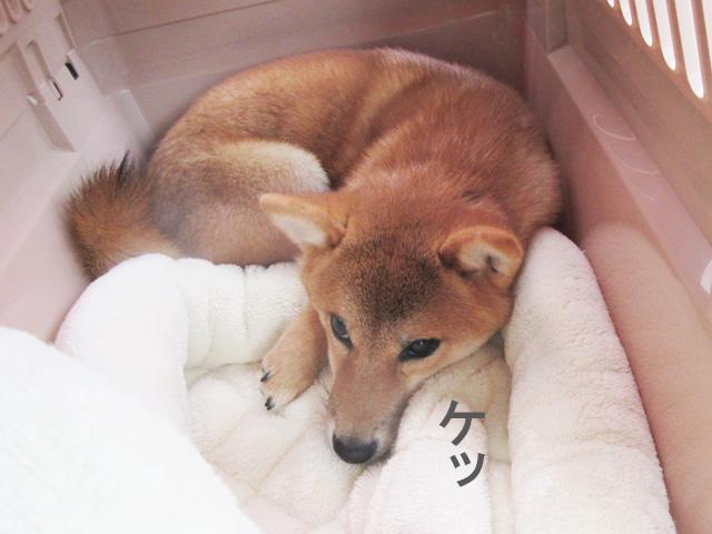 柴犬 柴犬コマリ クレート