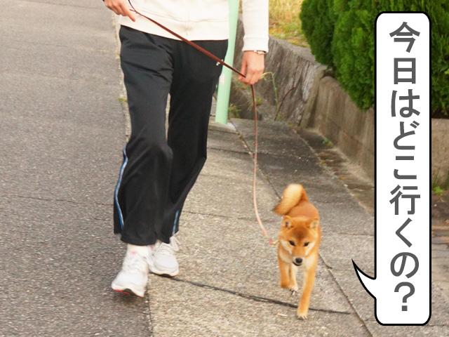 柴犬 柴犬コマリ 夕方散歩
