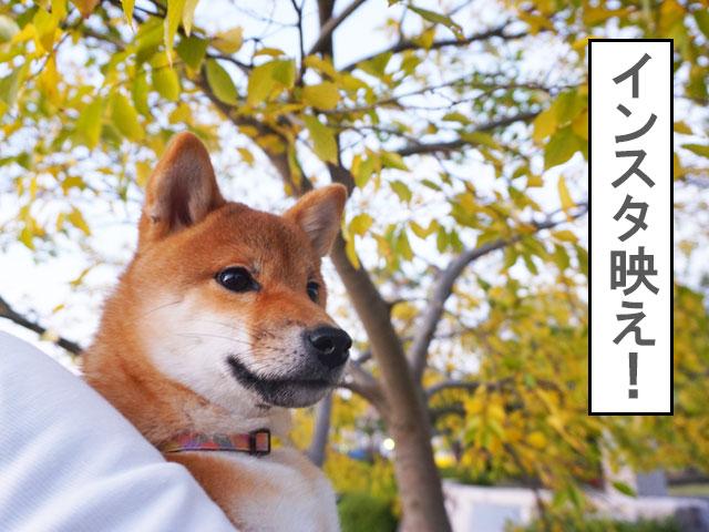 柴犬 柴犬コマリ インスタ映え
