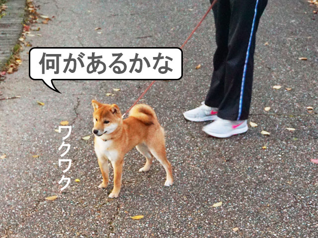 柴犬 柴犬コマリ 秋の公園
