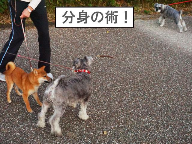 柴犬 柴犬コマリ シュナウザー