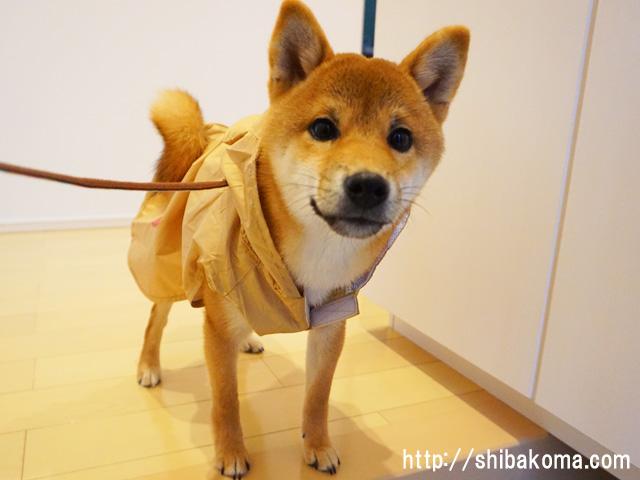 柴犬 柴犬コマリ カッパ