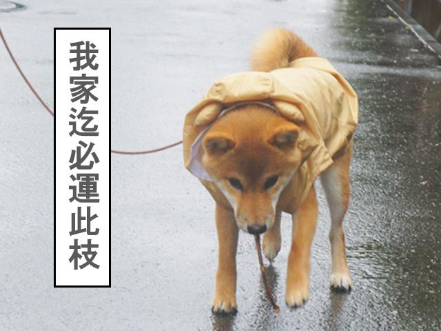 柴犬 柴犬コマリ 雨散歩
