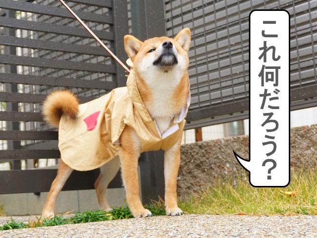 柴犬 柴犬コマリ 初めての雨