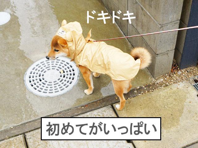 柴犬 柴犬コマリ 雨の日散歩