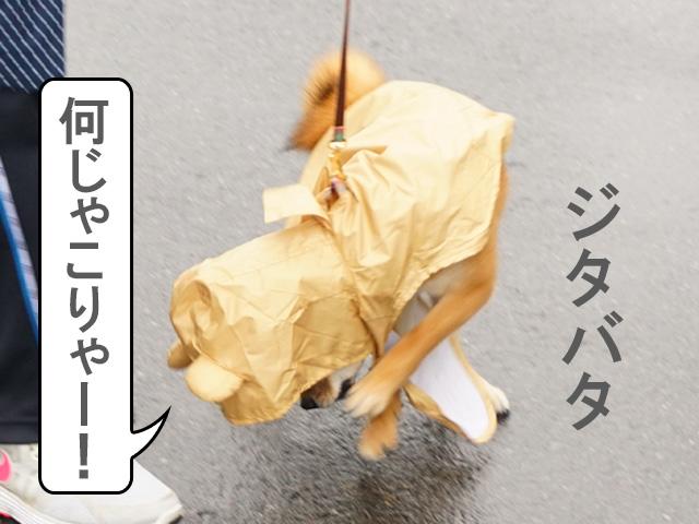 柴犬 柴犬コマリ カッパデビュー