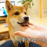 柴犬コマリ ずきゅーん